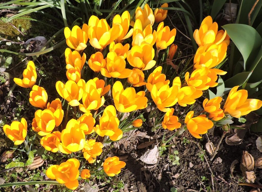 Frühlingsblumen3
