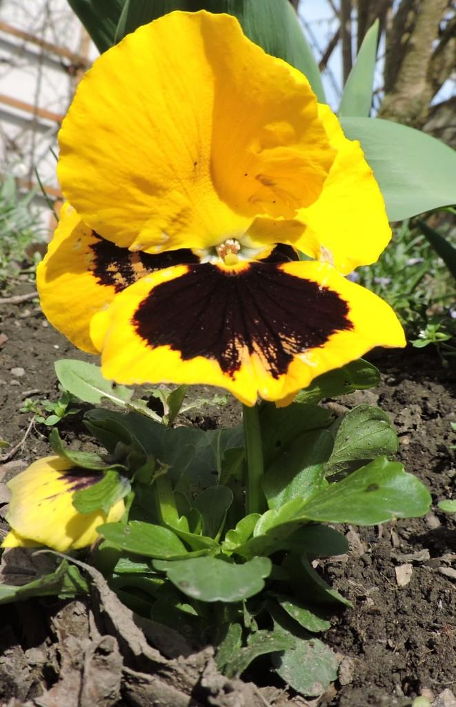 Frühlingsblumen7