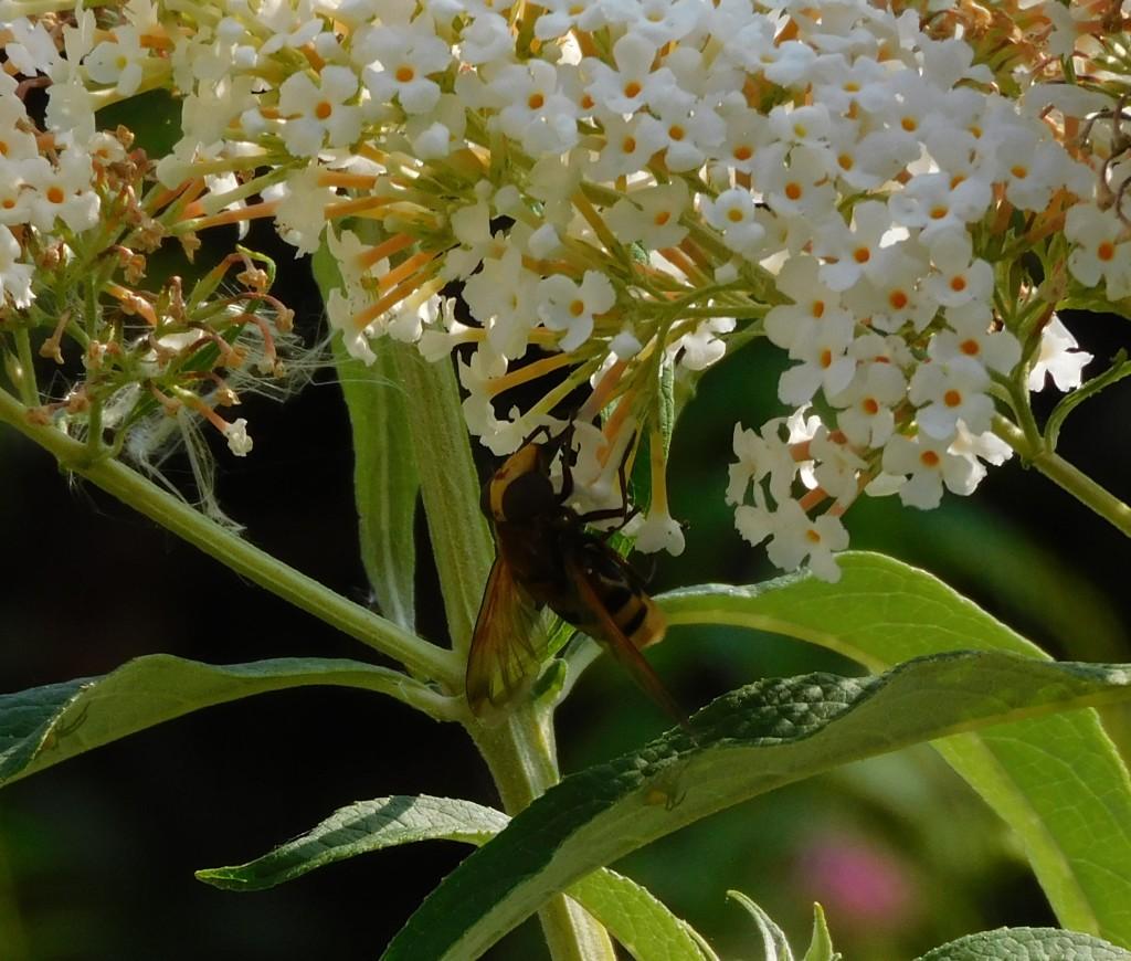 Hornissenschwebfliege1