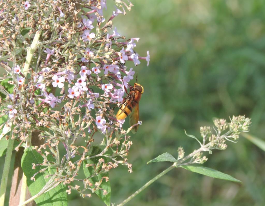 Hornissenschwebfliege2