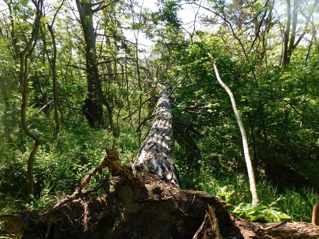 Baumumgestürzt1
