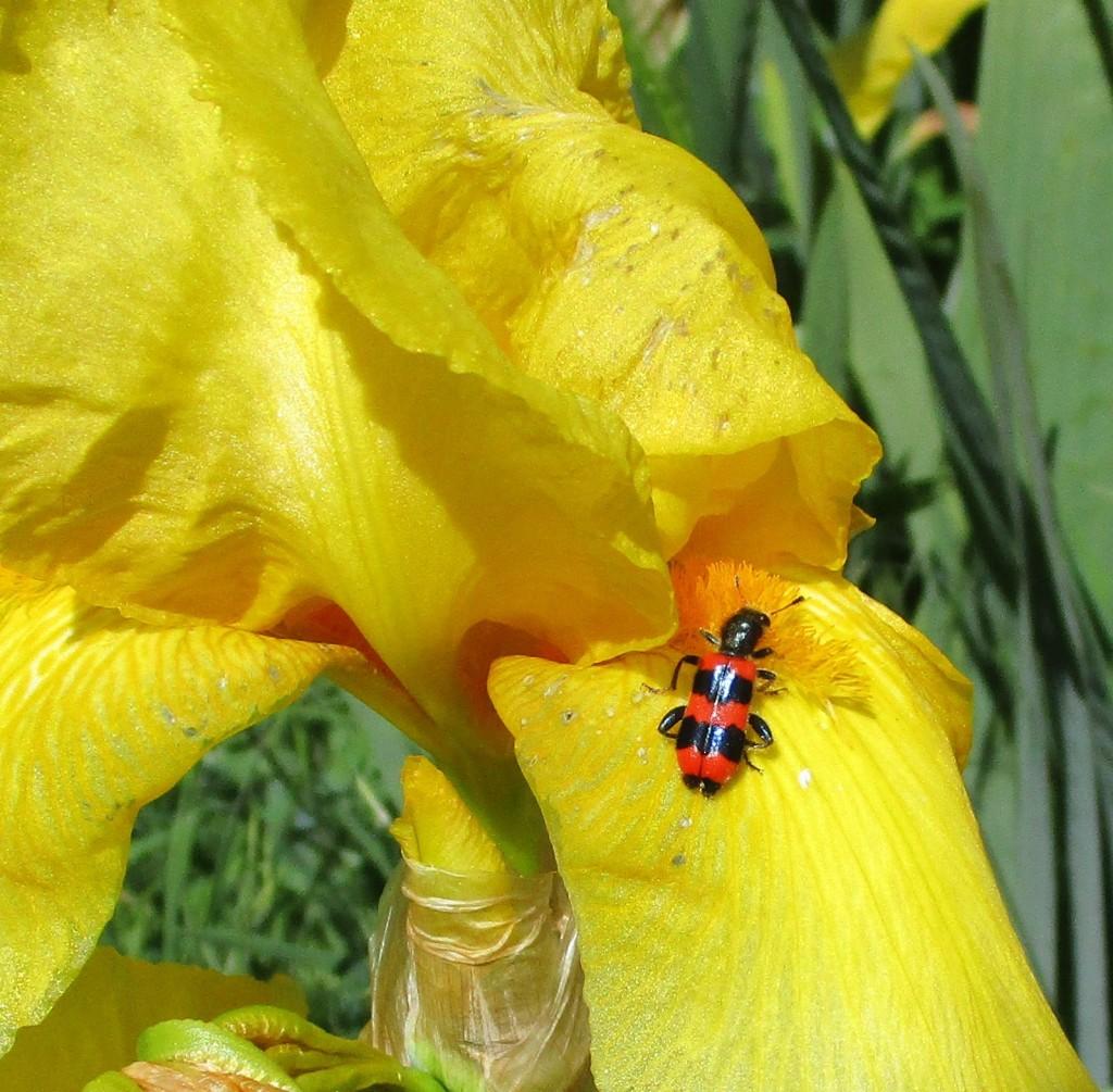 Bienenkäfer1