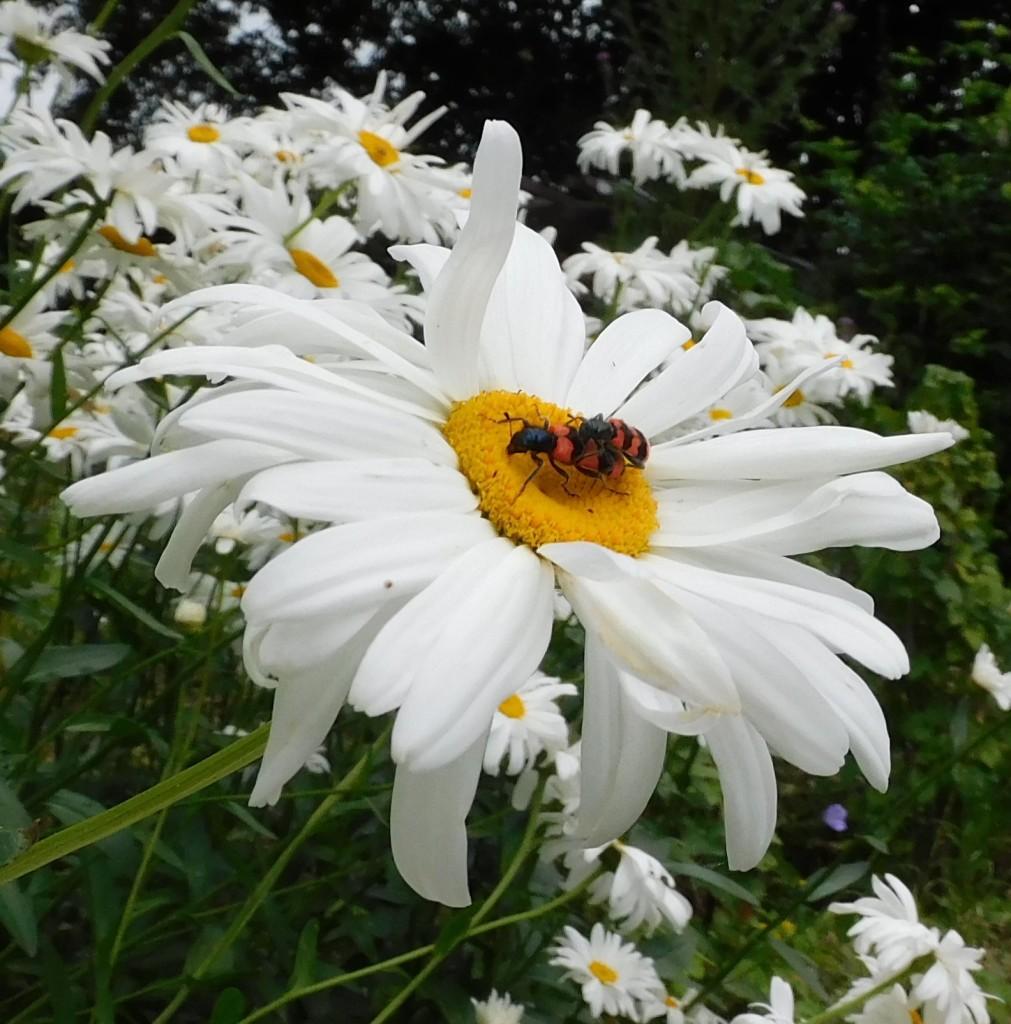 Bienenkäfer3