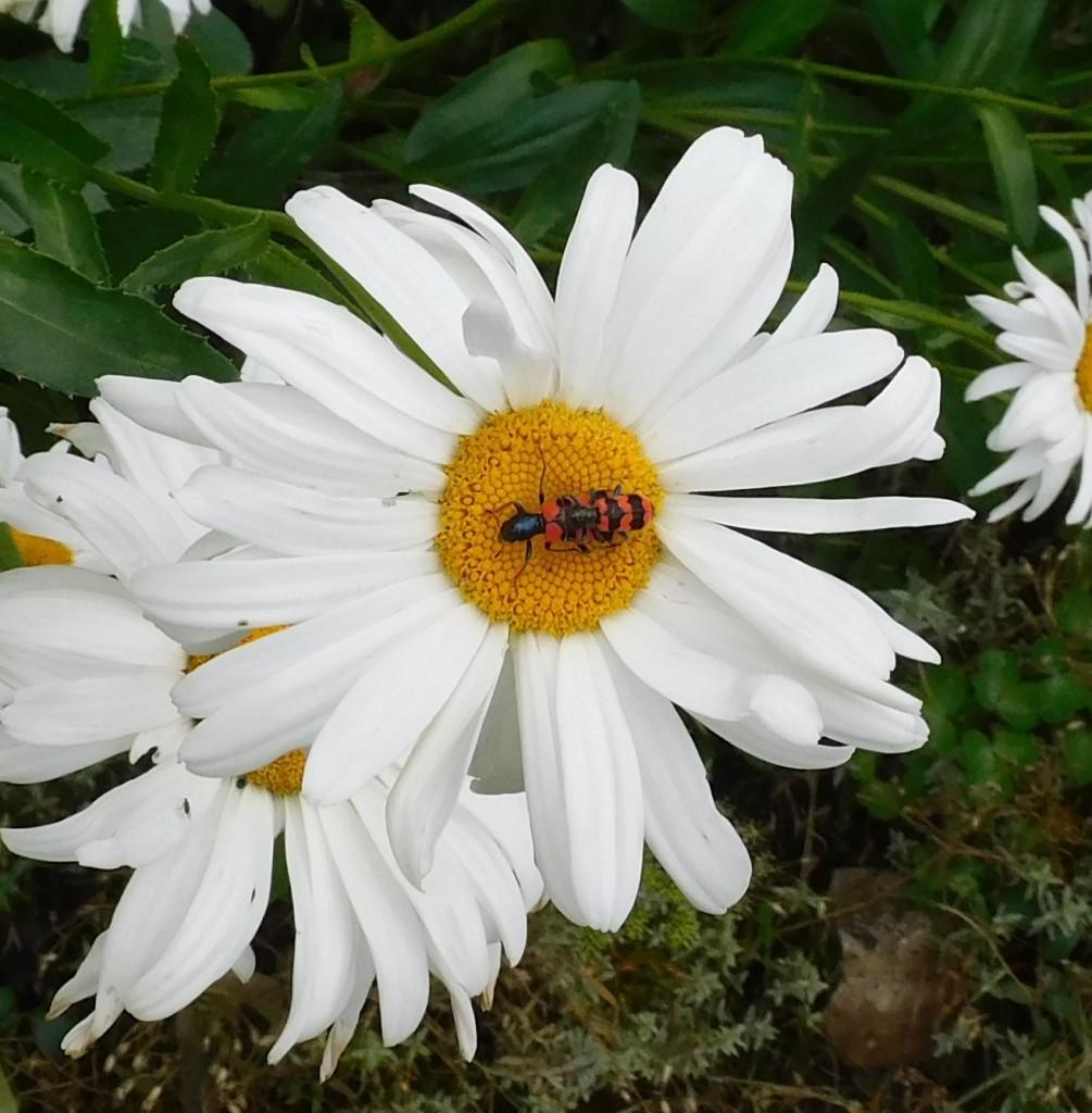 Bienenkäfer4