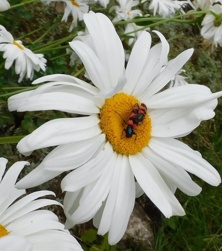 Bienenkäfer5