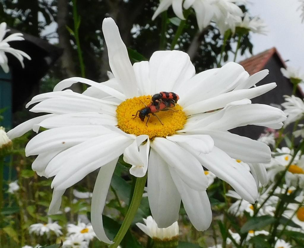 Bienenkäfer6