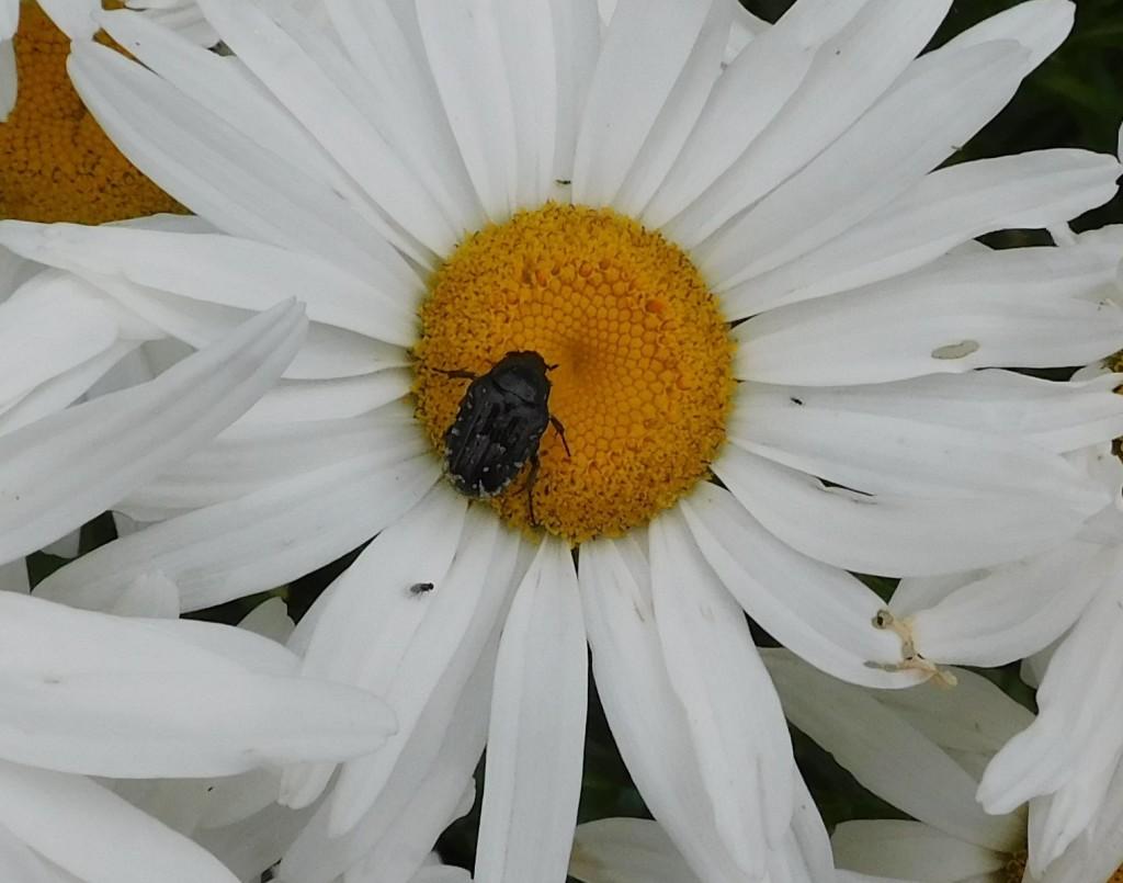 Trauerrosenkäfer1