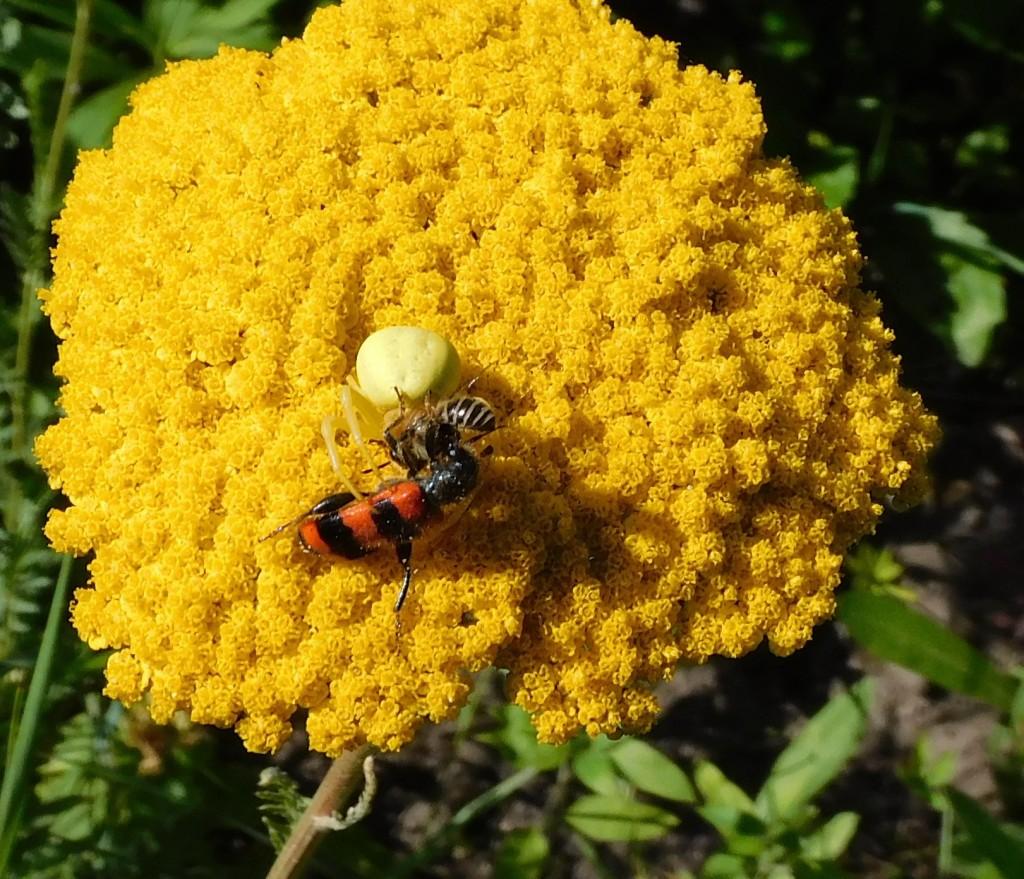 BienenkäferKrabbenspinne1