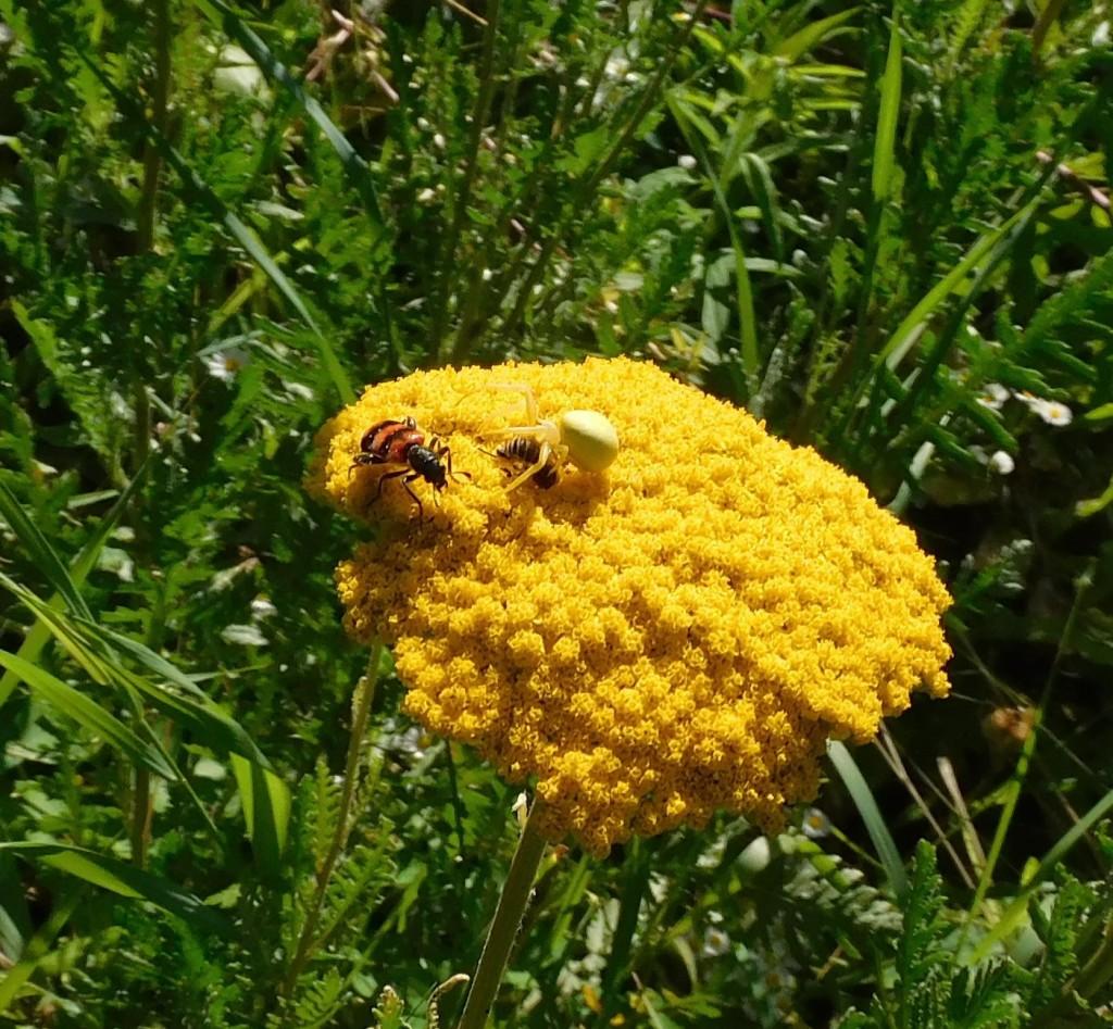 BienenkäferKrabbenspinne11