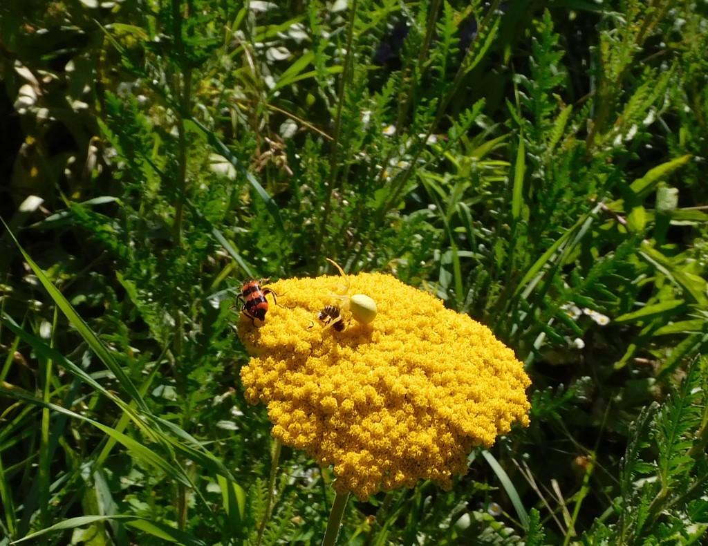 BienenkäferKrabbenspinne12