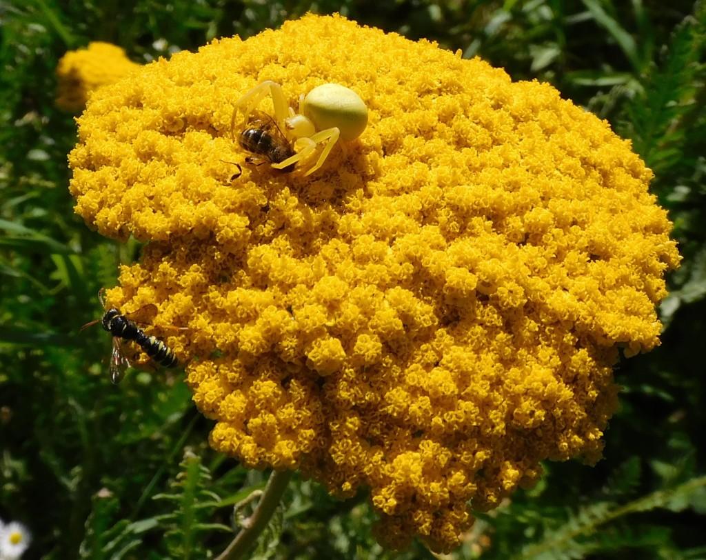 BienenkäferKrabbenspinne13