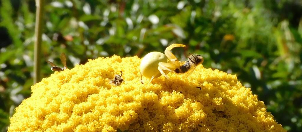 BienenkäferKrabbenspinne14