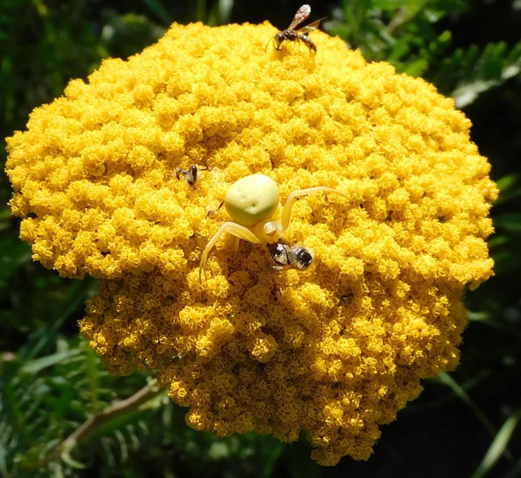 BienenkäferKrabbenspinne15