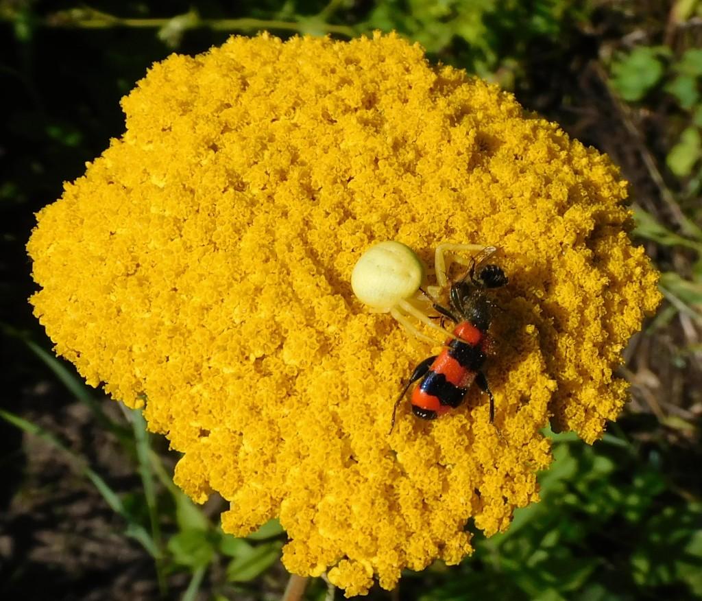 BienenkäferKrabbenspinne3