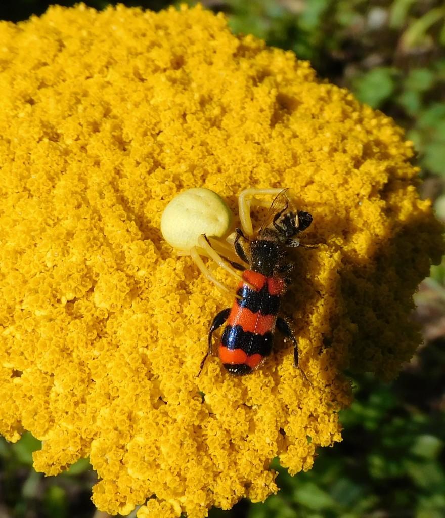 BienenkäferKrabbenspinne4