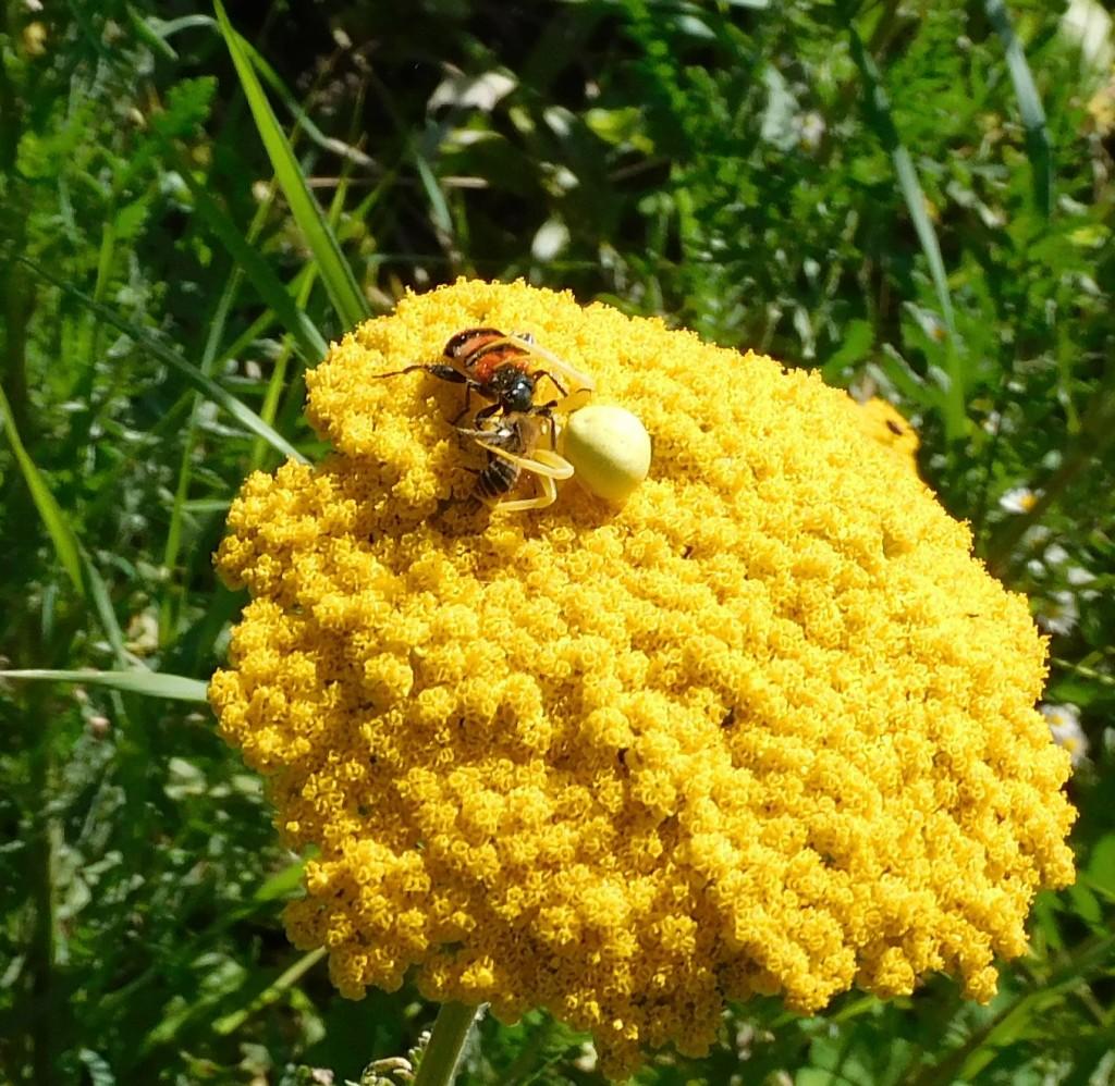BienenkäferKrabbenspinne5