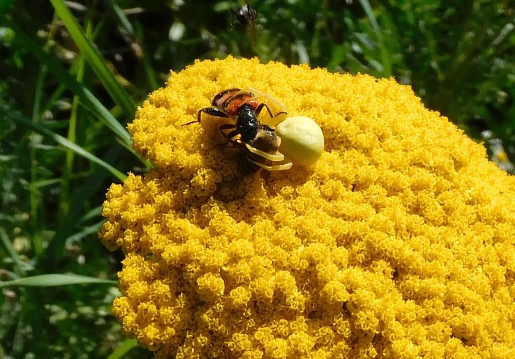 BienenkäferKrabbenspinne7