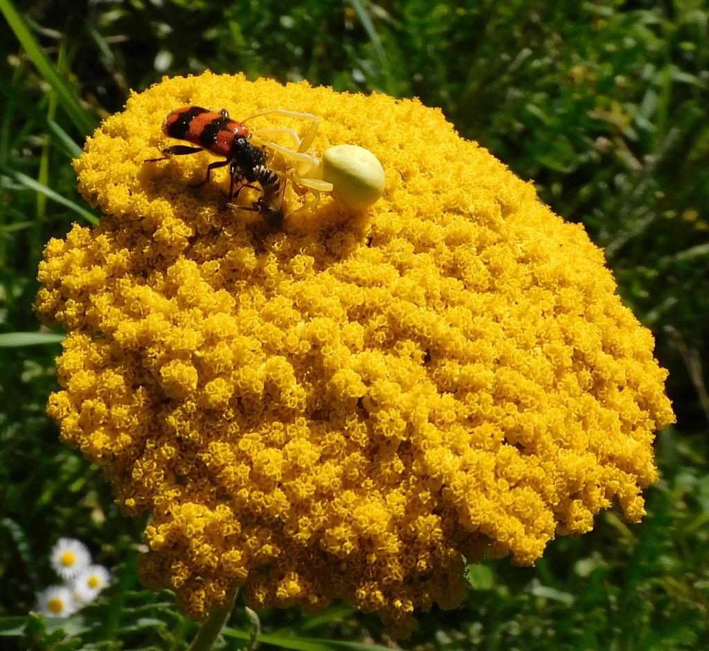 BienenkäferKrabbenspinne8